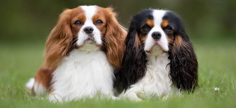 สุนัขพันธุ์ Cavalier King Charles Spaniel