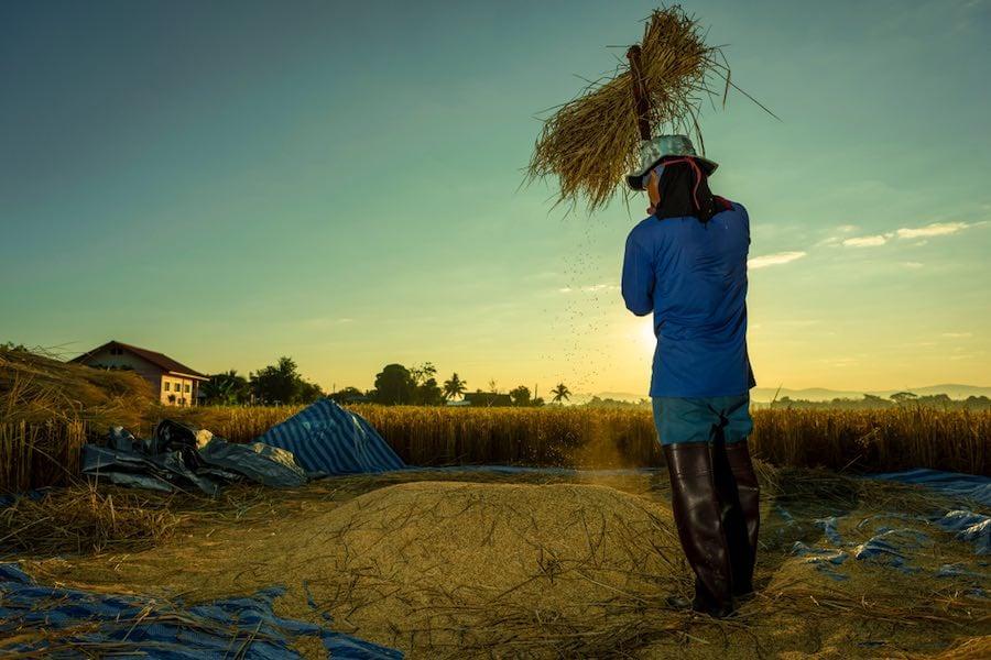 Thai Farmers ชาวนาไทย