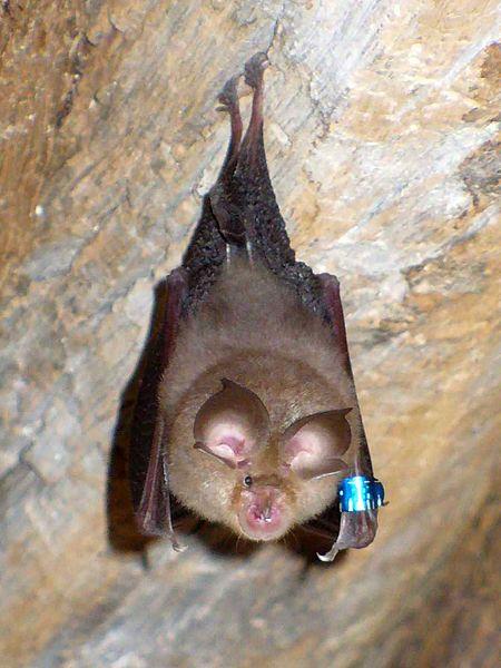 Horseshoe bat ค้างคาวเกือกม้า